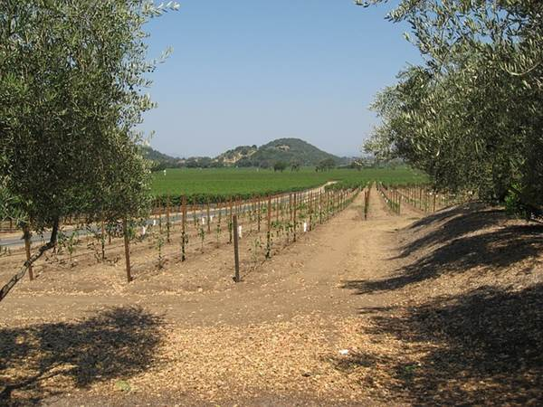 Napa Valley Vineyard, California, USA