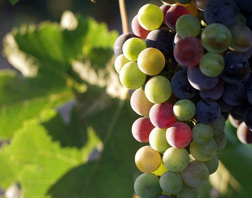 Grapes from the Guadalupe Valley, Baja California, Mexico